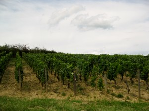 One of many vineyards