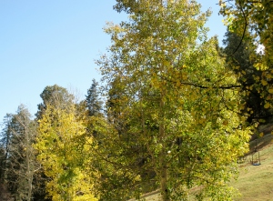 Aspen leaves turning yellow