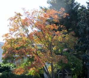 Finally, a tree with leaves changing color