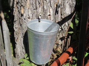 Spigot in sugar maple tree with pail to 'catch' sap