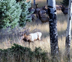 Elk herd with male in front