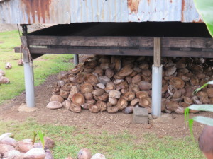 Coconuts being stored; common in many homes