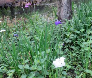 One of many iris beds