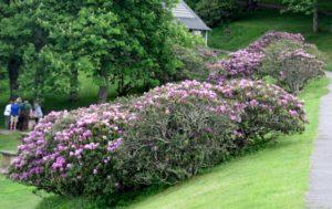 Azalea bushes along parkway