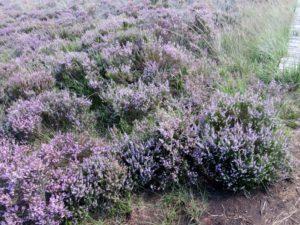 Wildflower bushes