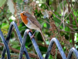 Robin on castle fence